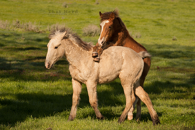 wild horse photography of a colt jumping on another colt