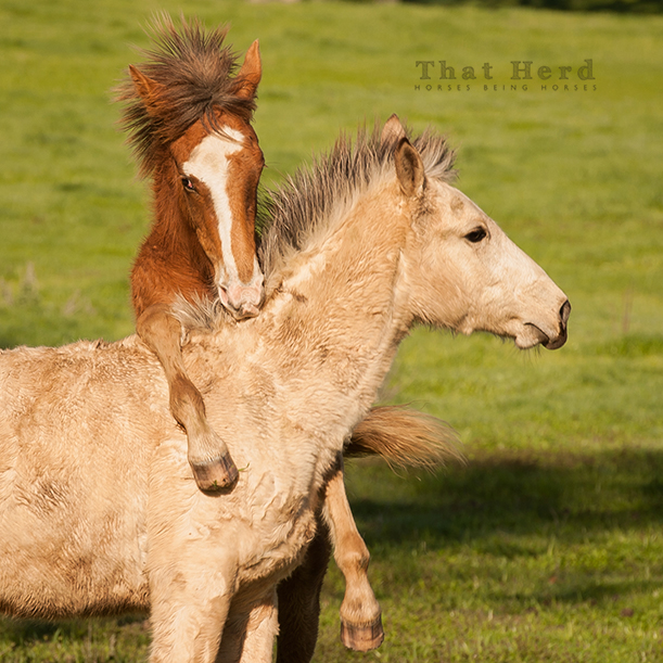 wild horse photography of two colts playing