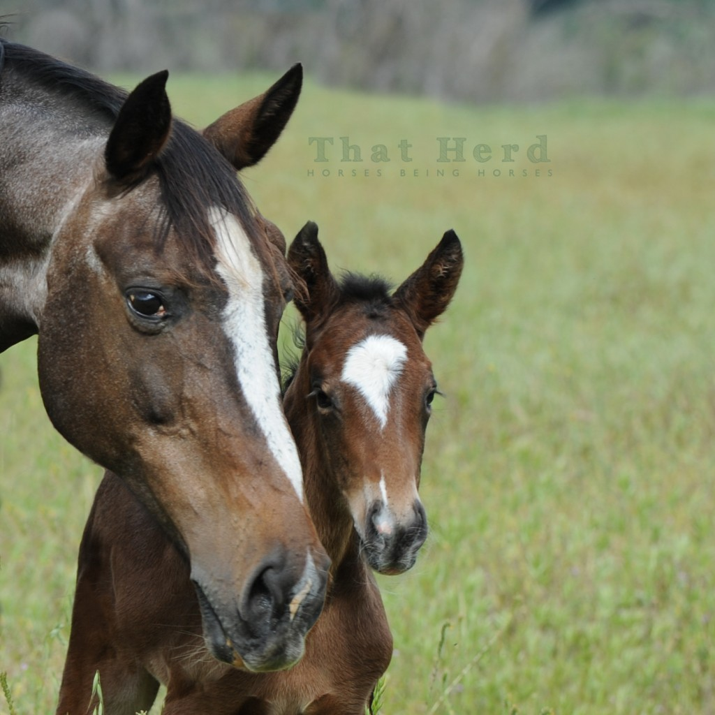 wild horse photography of a mare with her newborn foal