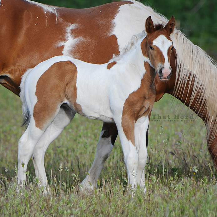 wild horse photography of a strong and flashy filly