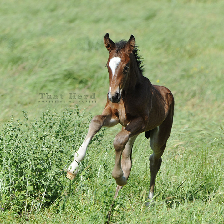 wild horse photography of a new colt in a happy gallop