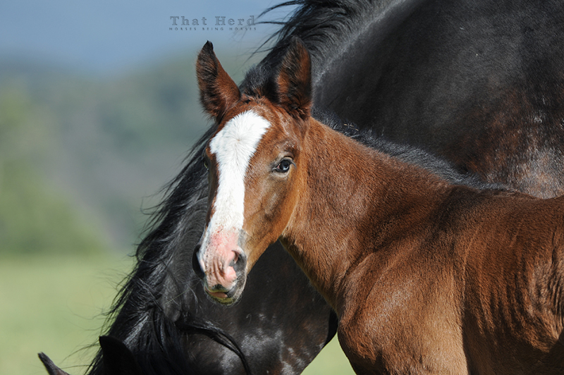 wild horse photography of a foal with blue marbling in the eye