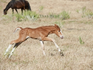 wild horse photography of a galloping newborn filly