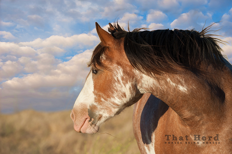 wild horse photography of a paint mare exploring the view