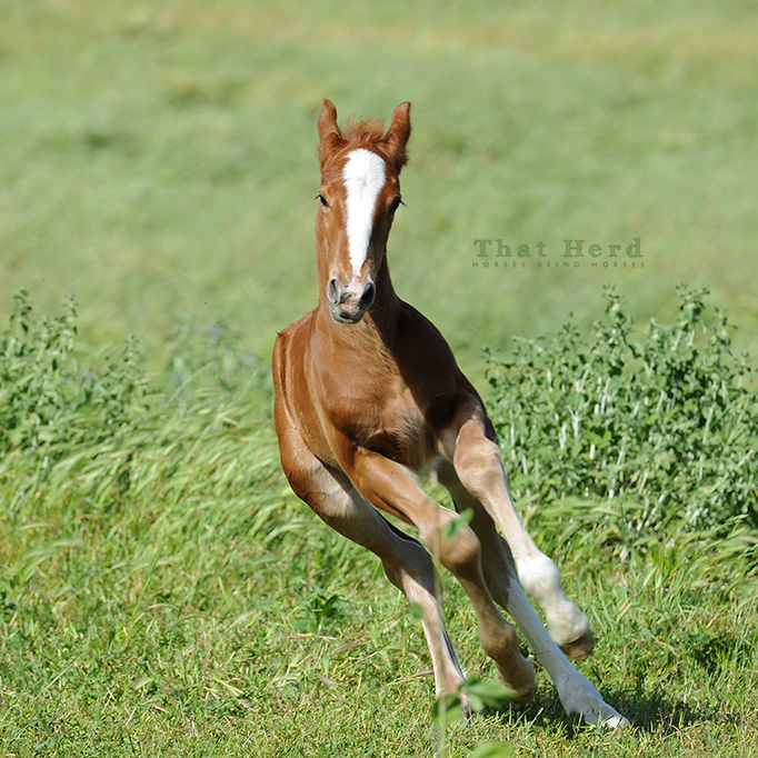 wild horse photography of a new colt galloping with attitude