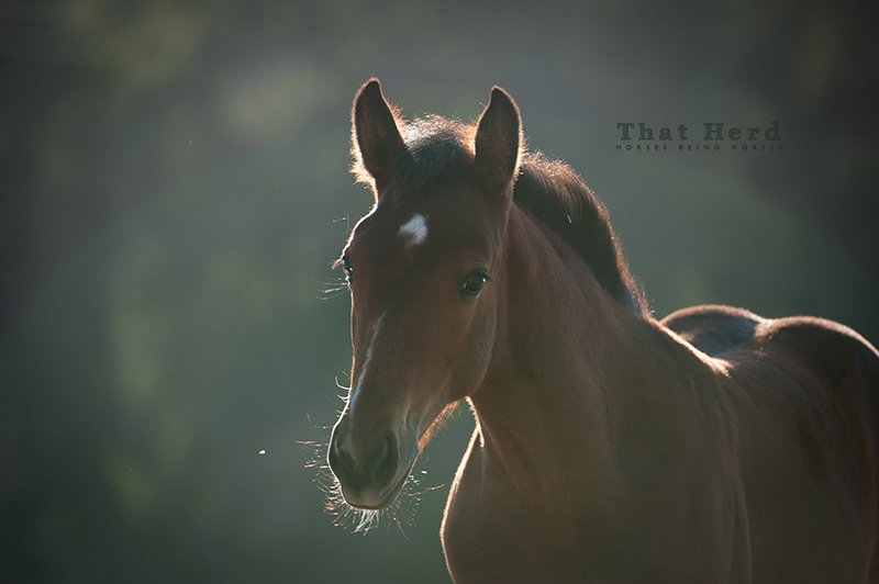 wild horse photography of an inquiring filly