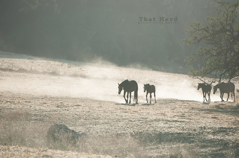 wild horse photography of mares and foals in the heat and dust