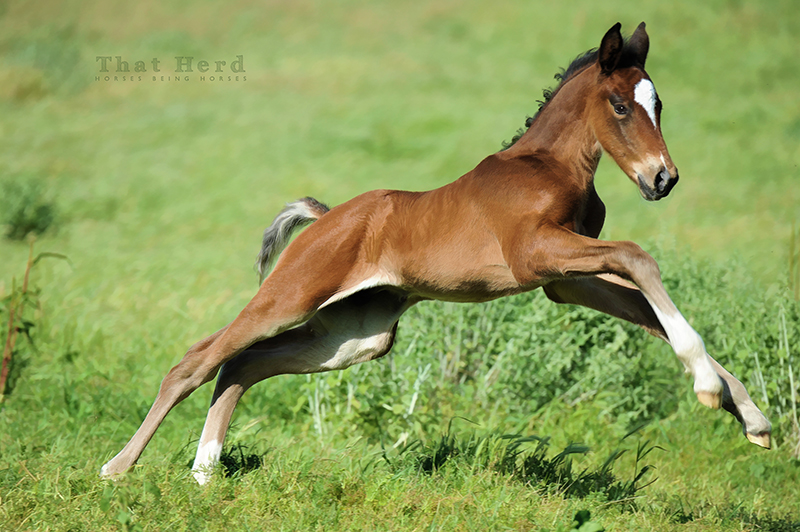 wild horse photography of a new colt galloping