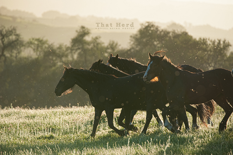 wild horse photography of fillies in a spring sunset