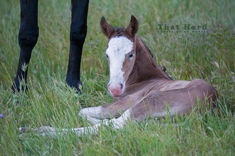 wild horse photography of a one-day-old colt