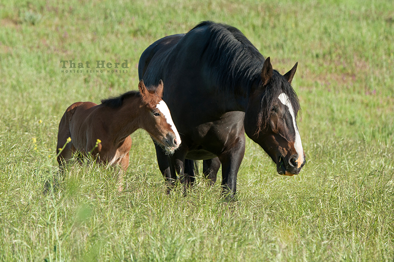 wild horse photography of a dark mare and her new foal
