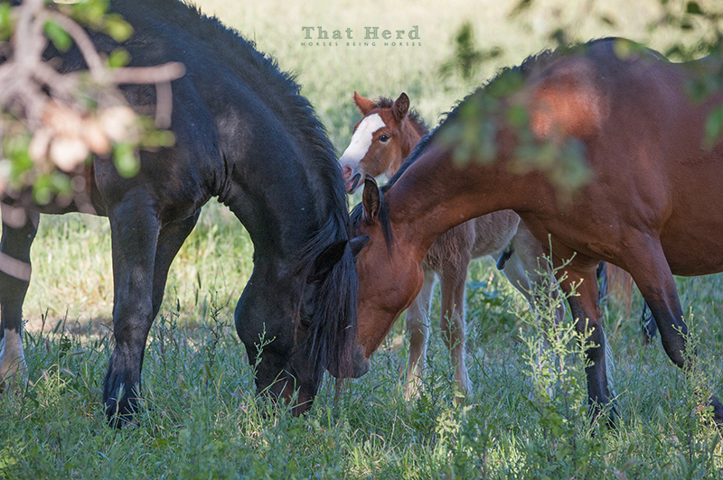 wild horse photography of communication between a stallion and mare