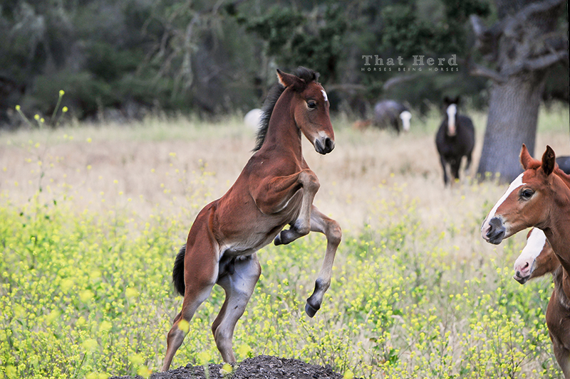 wild horse photography of a rearing foal