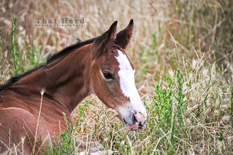 wild horse photography of a fine featured new colt