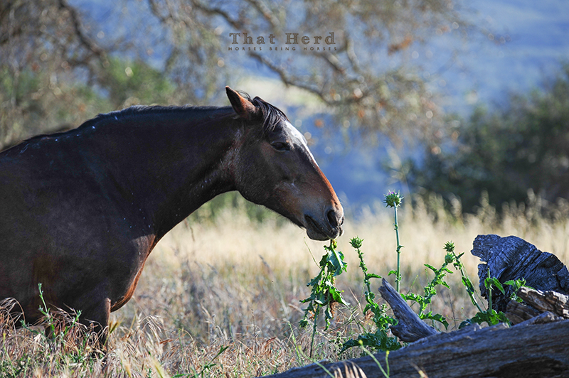 wild horse photography of a thistle eating mare