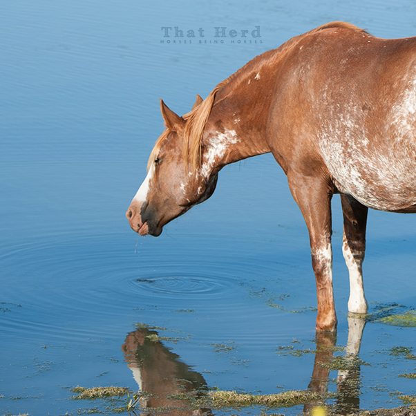 wild horse photography of a paint mare in a pond