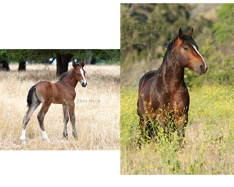 wild horse photography of a five year old colt