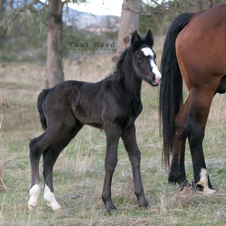free range horse photography of a black newborn filly