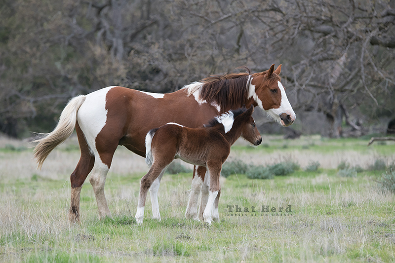 free range horse photography of a painted mare and new foal
