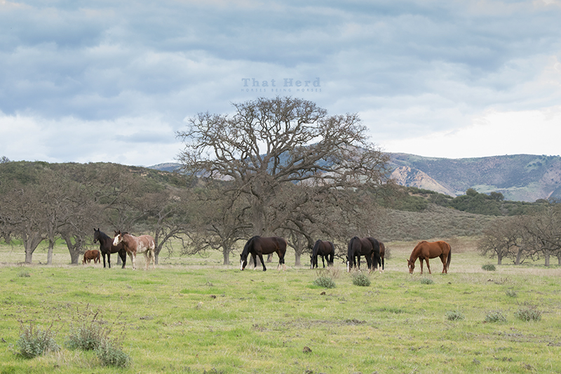 free range horse photography of grazing mares