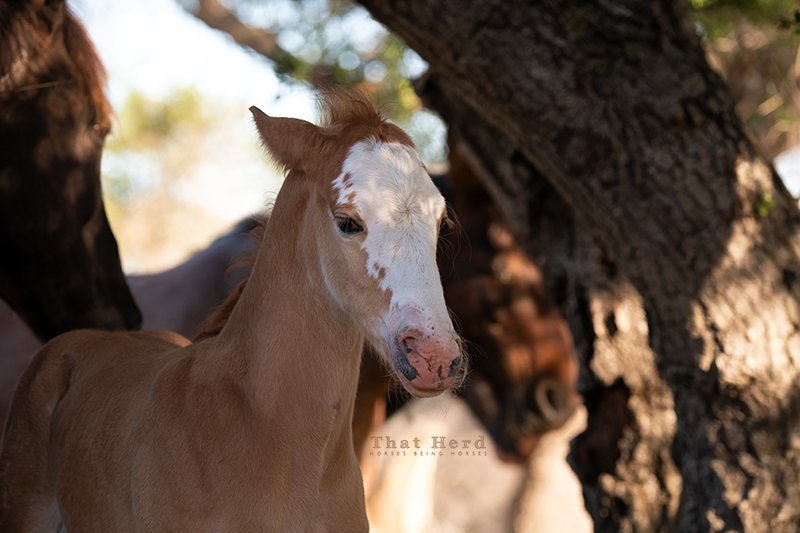 free range horse photography of a new foal issuing a warning