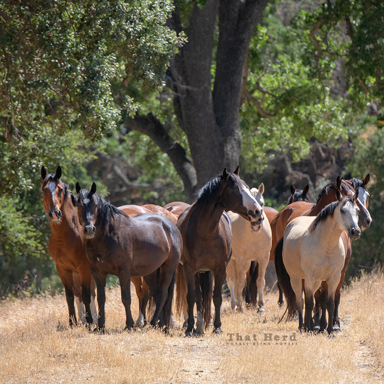 free range horse photography of a group of male herd mates