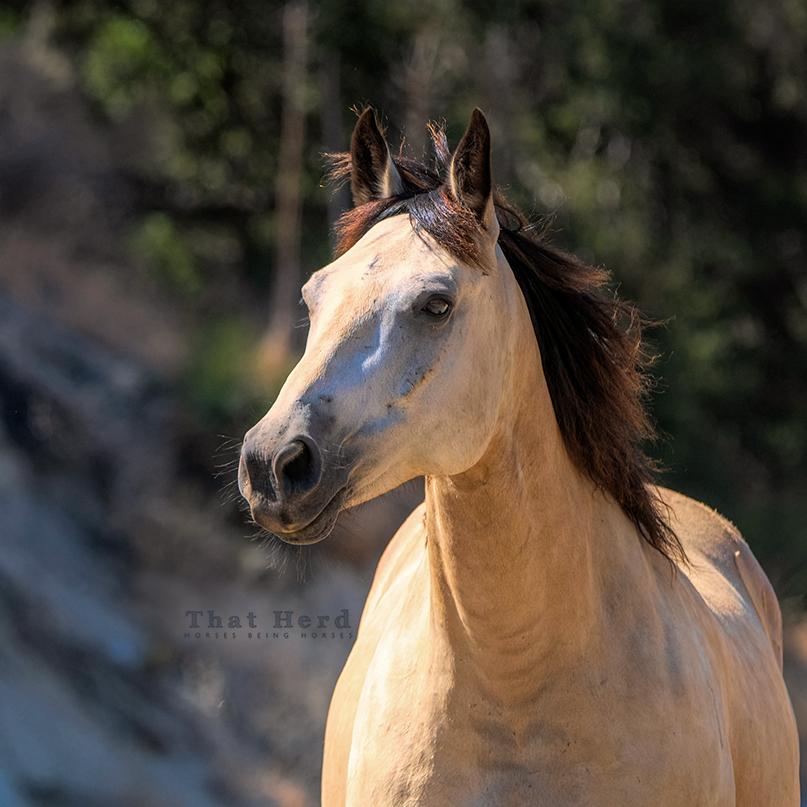 free range horse photography buckskin portrait