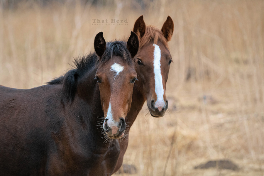 free range horse photography of two older foals