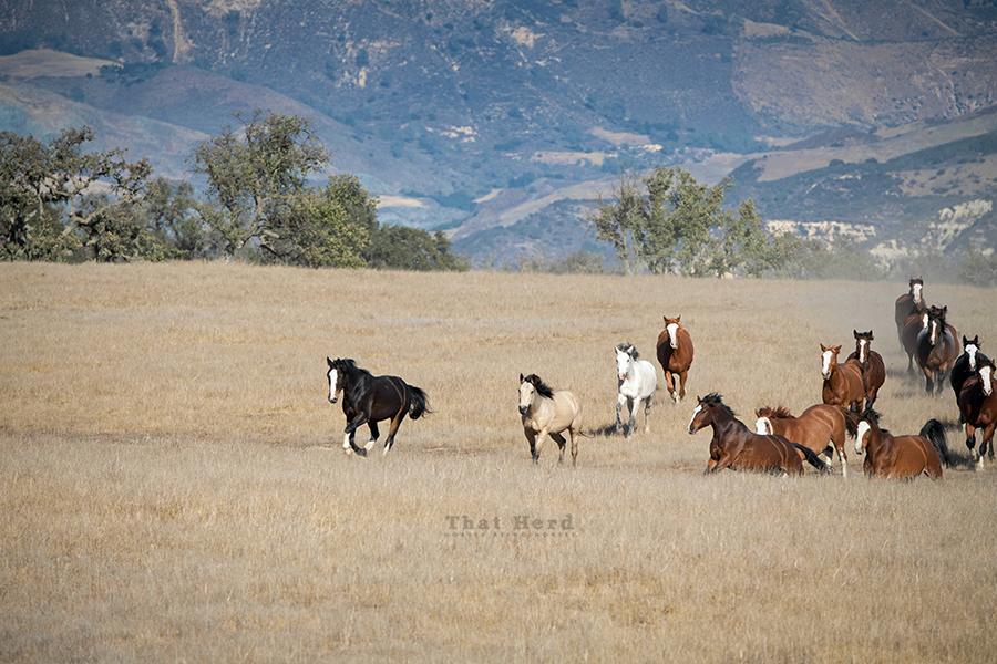 free range horse photography of a group of running horses