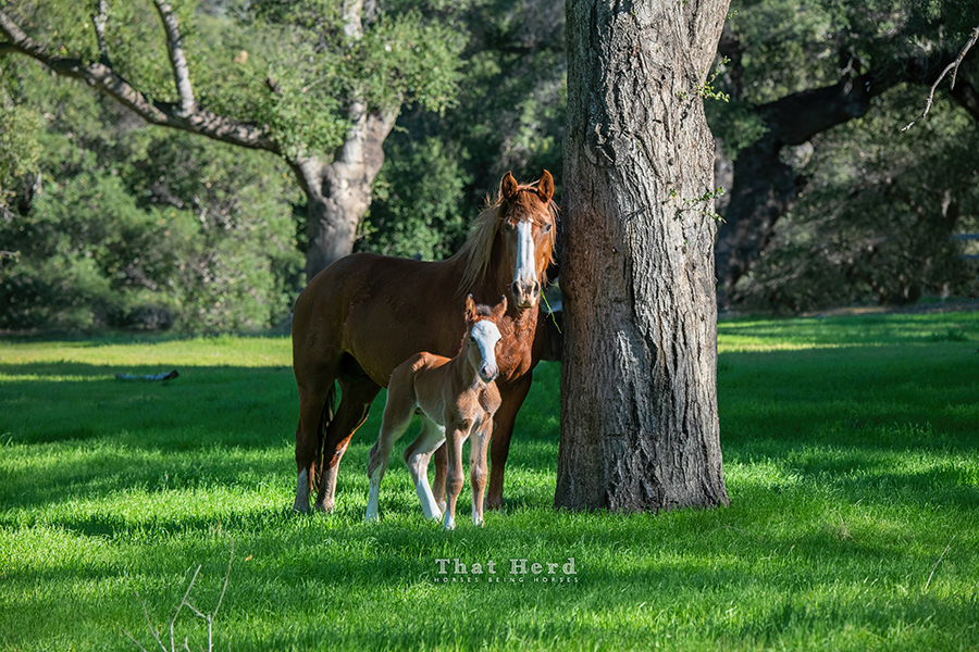 free range horse photography of a new foal and his mother in a park-like setting