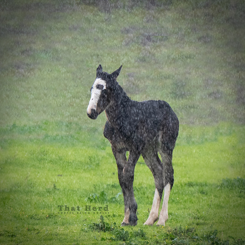 free range horse photography of a new foal in a rainy downpour