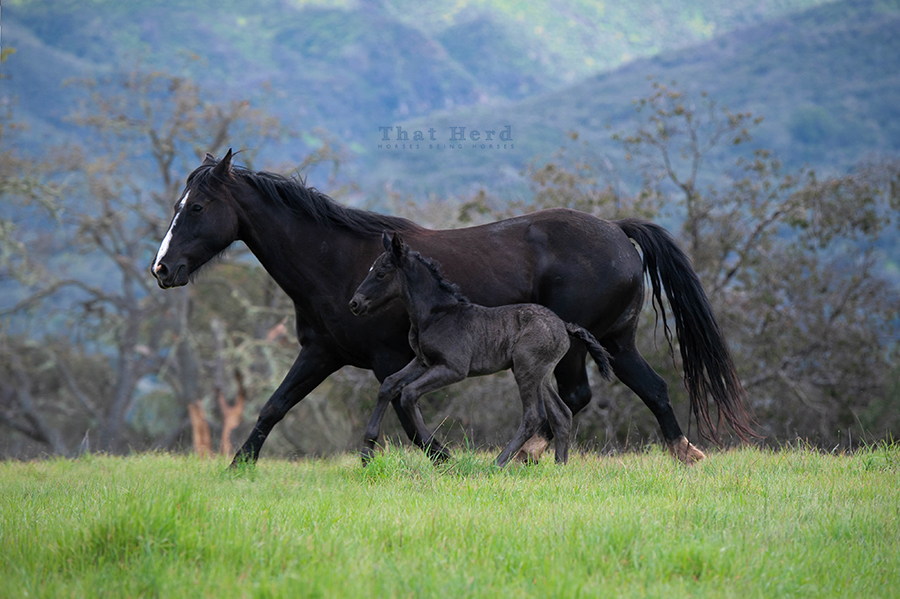 free range horse photography of a newborn foal fleeing with mother