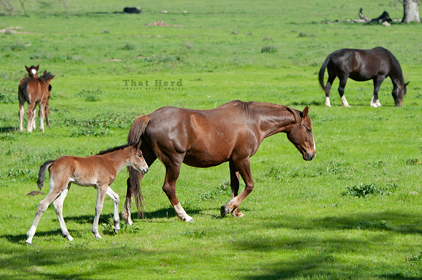 free range horse photography of a new filly on parade