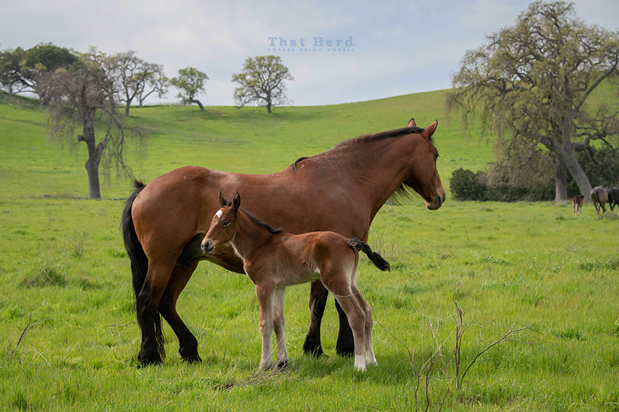 free range horse photography of a wistful mare and newborn