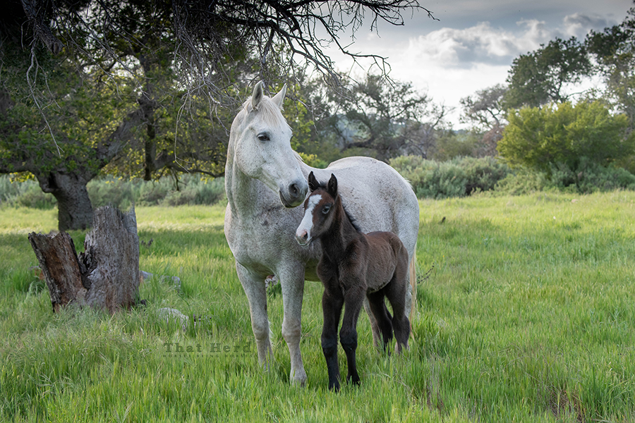free range horse photography of a long legged newborn colt and his good natured mother