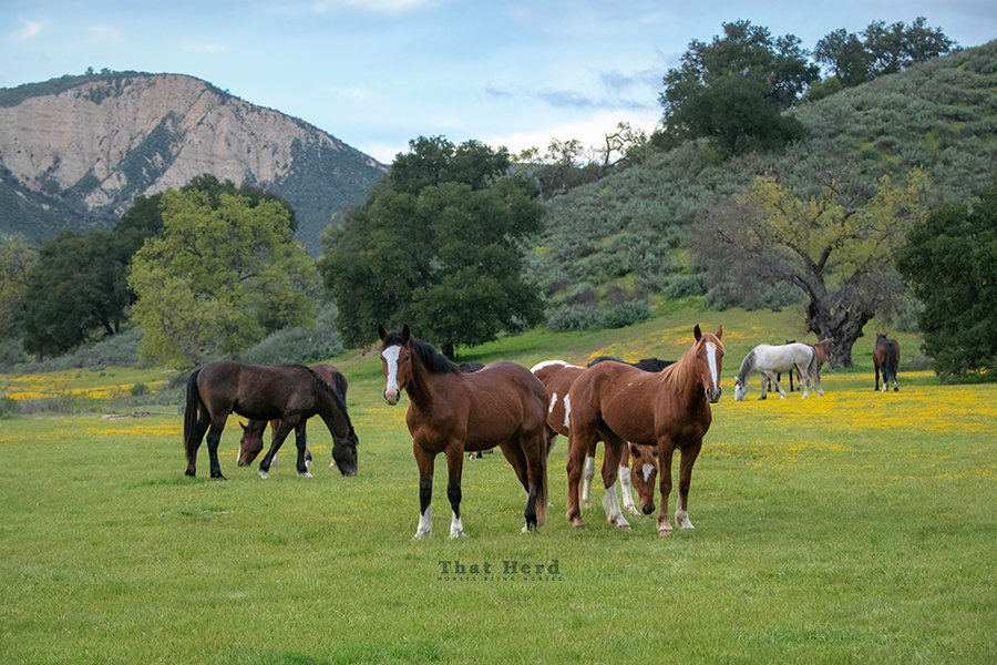 wild horse photography of horses in a springtime bloom area