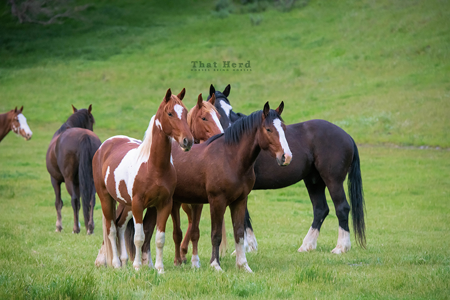 free range horse photography of several geldings in green spring grass