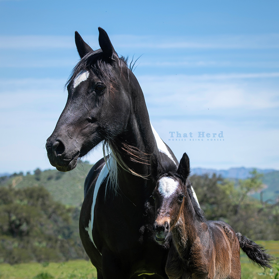 free range horse photography of a mare and new foal with large forehead star