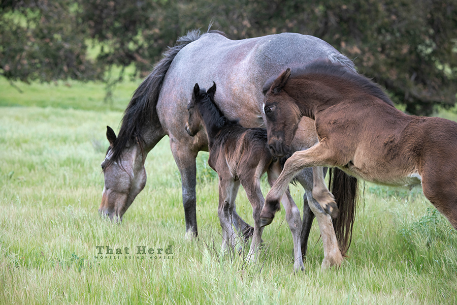 free range horse photography of an angry foal circling it's mother that stole a newborn foal