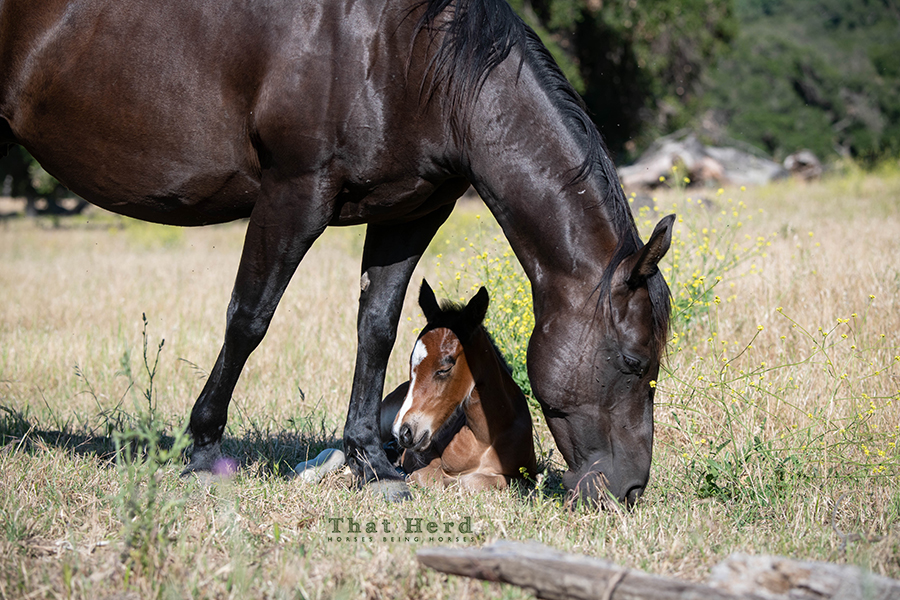 free range horse photography of a napping newborn filly under her mother