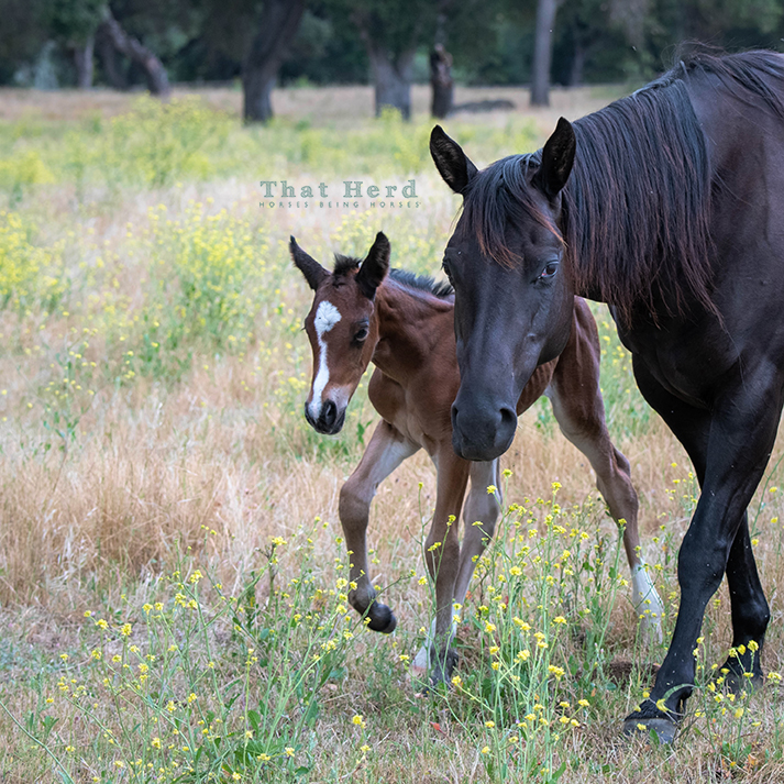 free range horse photography of a one day old foal strolling with her mother