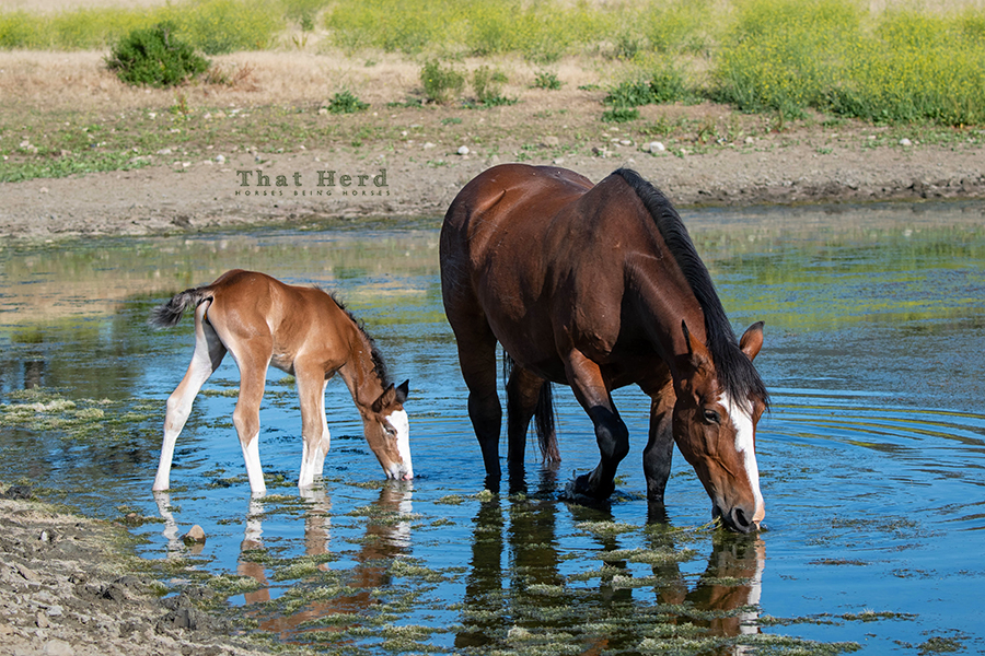 free range horse photography of a newborn foal in a pond with her mother