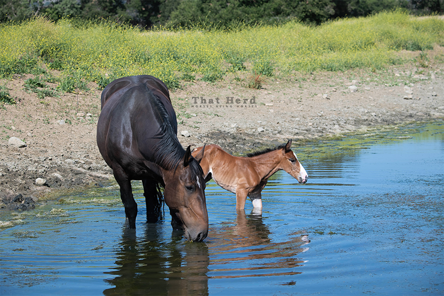 free range horse photography of a newborn colt in a pond